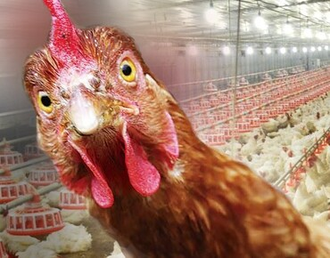 Lighting for poultry farming