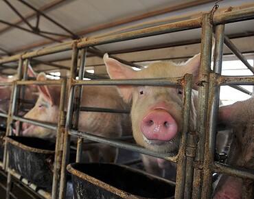 Lighting for piggeries, pig farms